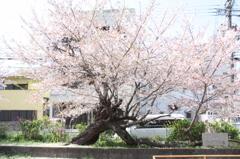 この春一目惚れした櫻の木