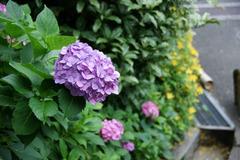 水無月の紫陽花(紫)