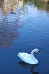 明石公園お濠の白鳥