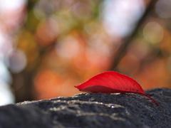 桜紅葉(さくらもみじ)の落ち葉4