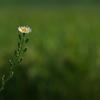 畔に咲く野草花(アキノノゲシ)