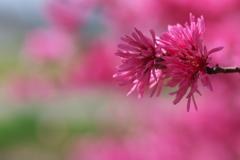 春の川沿いに咲く菊桃(キクモモ)2