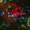 紅葉(モミジ)の紅葉2