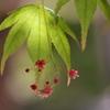 伊呂波紅葉(イロハモミジ)の花2