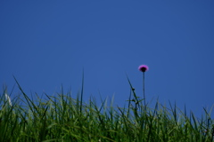 溜池土手に咲く野薊(ノアザミ)1