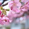 駅前の河津桜(カワヅザクラ)2