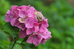 紫陽花(アジサイ)に蝸牛(カタツムリ)1