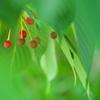 大島桜(オオシマザクラ)の実4
