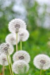 春の畔に咲く野草花(タンポポの冠毛)