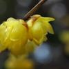 神社の蝋梅(ロウバイ)が咲いた