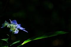 あじさい神苑の紫陽花(アジサイ)2