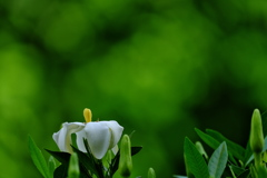 街角に咲く梔子(クチナシ)