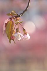 サクラ咲く2