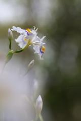 春の公園に咲く射干(シャガ)