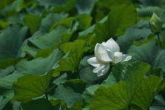溜池に咲く蓮(ハス)2(白花)