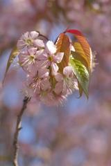 サクラ咲く1
