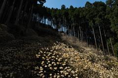三叉(ミツマタ)の森2