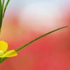 畔に咲く野草花(ロボウガラシ)