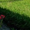 田圃畦に咲く彼岸花(ヒガンバナ)4