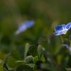 畦に咲く野草花(オオイヌノフグリ)