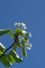 畔に咲くバラ科の木の白い花