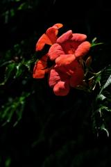 街角に咲く亜米利加凌霄花(アメリカノウゼンカズラ)