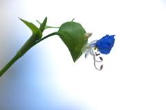 神社に咲く野草花(ツユクサ)