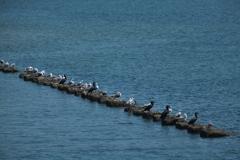 海辺に集う海鳥たち