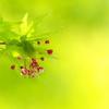 金ヶ崎公園に咲く伊呂波紅葉(イロハモミジ2)