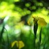 黄菖蒲(キショウブ)が咲いた1
