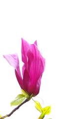春の公園に咲く紫木蓮(シモクレン)