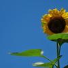 向日葵(ヒマワリ)は夏の青空が似合う