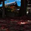 落葉の絨毯(トウカエデ)