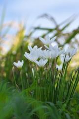 畔に咲く野草花(タマスダレ)