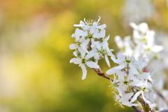 街角に咲く白い花(ザイフリボク)