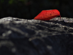 桜紅葉(さくらもみじ)の落ち葉3