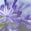 路傍に咲く野草花(アガパンサス)