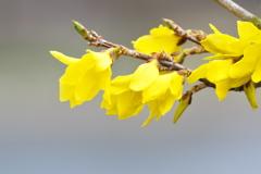 春本番、公園の連翹(レンギョウ)が咲いた