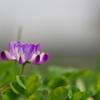 田圃に咲く紫雲英(ゲンゲ)