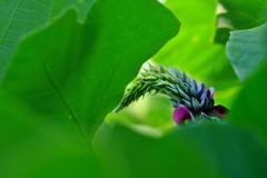 秋の七草葛(クズ)が咲く