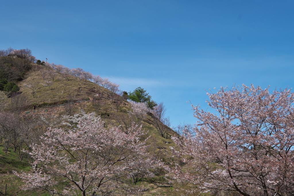 桜華園(おうかえん)の山の桜