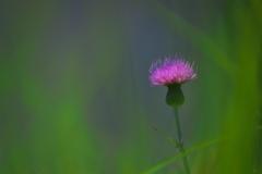 溜池土手に咲く野薊(ノアザミ)2