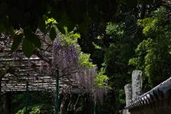 神社のフジが見頃1