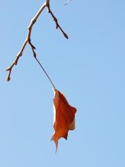 冬に見付けたほっ9(鈴掛の木)
