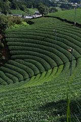 京都和束町の円形茶園2