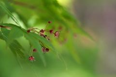 春の金ケ崎公園にて(イロハモミジ)