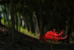 明石公園に咲く彼岸花(ヒガンバナ)