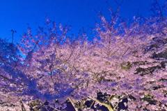 須磨浦公園の夜桜2