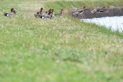 溜池土手に集う鴨たち