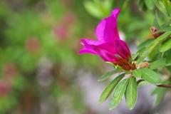 春の公園に咲く躑躅(ツツジ)